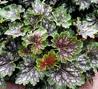 Marvelous Marbles Coral Bells 50 Seeds - Heuchera