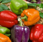 Mixed Bell Pepper Seeds ALL COLORS GREAT MIX FREE SHIPPING