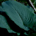BLUE SEER HOSTA SEEDS! HARDY! COMB. S/H! SEE MY STORE FOR MORE HOSTA!
