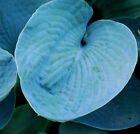 ELEGANS HOSTA SEEDS! HARDY! COMB. S/H! SEE MY STORE FOR MORE HOSTA!