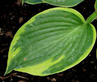 OLIVE BAILY LANGDON HOSTA SEEDS! HARDY! COMB. S/H! SEE MY STORE FOR MORE HOSTA!