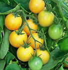 TOMATOES * * GOLDEN NUGGET ~25 SEEDS**