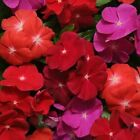40+ FRAGRANT VINCA PACIFICA BOLD FLOWER SEEDS MIX PERIWINKLE ANNUAL