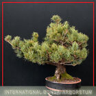 Japanese White Pine Miyajima Bonsai