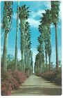 Vintage 1955 Postcard Rio Grande Valley Texas TX Palms Bougainvillaeas Chrome