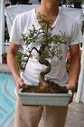 Chinese Elm Bonsai 10 inches tall
