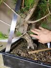 Japanese Black Pine Training Stock Curvy Trunk Pt171