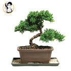 Brussels 8 Green Mound Outdoor Juniper Bonsai Tree for Home and Office Decor