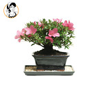 Live Japanese Bonsai Tree Pot Outdoor Garden House Decor 5 year Satsuki Azalea