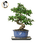 Brussels White Blossom Fukien Tea Bonsai Tree 6 Years Old Plant for Home Decor