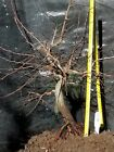 Korean Hornbeam Bonsai Stock Excellent Trunk Branches and Roots Cc1712