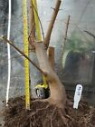 Trident Maple Bonsai Stock Nice Trunk Good Nebari Ab09
