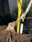 Trident Maple Bonsai Stock Slanted Trunk Tapered Trunk Good Nebari Ab07