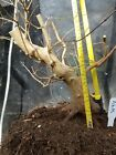 Trident Maple Bonsai Stock Slant Multiple Design Choices Good Nebari Ab05