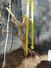 Trident Maple Bonsai Stock Good Curves Taper and Nebari Ab03