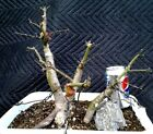 JAPANESE MAPLE BONSAI 3 TREE GROUP