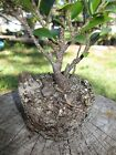 Tiger bark ficus bonsai tree starter sized