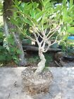 Tiger bark ficus med large bonsai plant super 125 inch trunk and good nebari