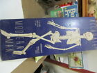 VINTAGE MODERN MAN 1/6 SCALE SKELETON KIT-1958 ISSUE by PLASTIC MASTERS INC.