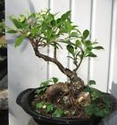 Tiger bark ficus large bonsai tree curvy trunk and WOW nice