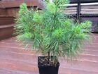 Easter White Pine Collected Pre Bonsai Tree