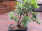 Satsuki Azalea Bonsai Tree Unknown Name