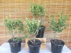 FOUR 4 DOUBLE BLOOM SERISSA Japonica Foetida Pre Bonsai Trees 3 4 years old