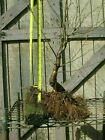 Bonsai Flowering Cherry Training Stock