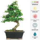 Bonsai Live Fukien Tea Indoor Garden Flower Tree Plant Decorative Ceramic Pot