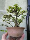 Chojubai Japanese Quince Bonsai Tree Erin Pot Red Flower Chaenomeles Speciosa