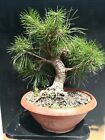 Bonsai pino nero black pine