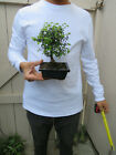 Chinese Elm Bonsai ShohinTree Ulmus parvifolia Bonsai Tree