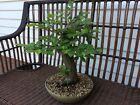 European Hornbeam Bonsai Tree