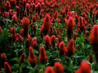 Crimson Clover Bold Bright Red Color 30 Seeds CombS H SEE OUR STORE