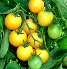 Gold Nugget Tomato! 20 Seeds! LOW ACID!  OVER 200 KINDS OF TOMATOES IN OUR STORE