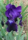 Lot Of 2 Crimson King Tall Bearded Iris Rhizome Bulbs -  Fresh From Our Garden
