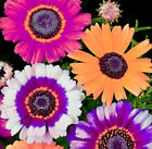 Beautiful Mixed Painted Daisy Flowers 100 Seeds Comb S H See our store