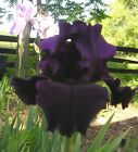 AFTER EIGHT -BLACK/VIOLET TALL BEARDED IRIS - 1 RHIZOME