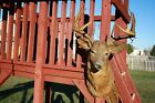 14 Point midwest White Tail Deer Mount Taxidermy Trophy Head Antlers Tines 20