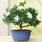Gardenia Small Bonsai Tree