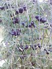Black Opal tomato 20 seeds  *HEIRLOOM* Seeds of Life