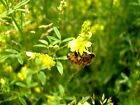 Big Bee Berseem  Yellow Sweet Blossom Clover Mix THE ULTIMATE Clover Mix