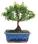 Maple Bonsai Tree Japanese Maple 3 Years Old Small Growth Leaves Great Gift