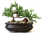 6 8 Inch Juniper Tree Bonsai with Pot Hand Made Trained Small Outdoor Tree