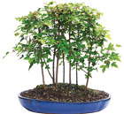 Maple Bonsai 7 Tree Forest 3 Years Old Small Growth Leaves Great Gift 13 Tray