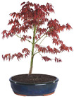 Japanese Red Maple Bonsai Tree 6 Years Old 14 18 Inches Tall 13 Humidity Tray