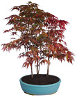 Japanese Red Maple Bonsai Trees Grove 6 Years Old 14 18 Inches Tall 13 Tray