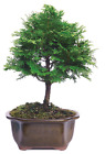 Dwarf Hinoki Cypress Bonsai Tree Dark Green Conifer 3 Years Old 6 10 Inch Tall