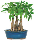 Money Tree Bonsai Grove Braided Trunks Humidity Tray 4 Years Old 10 14 Tall