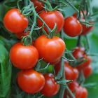 Mountain Magic F1 Hybrid Tomato Seeds - Perfect fresh eating right off the vine
